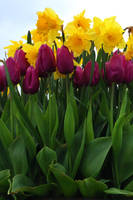 Tulips and daffodils by MaresaSinclair