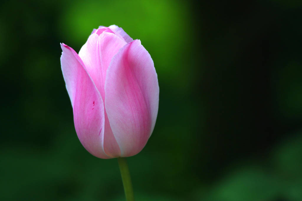Pink Tulip by MaresaSinclair