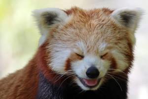 Panda giggles by MaresaSinclair