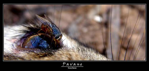 Pavane by heeeeman