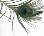 Peacock Feather From Noah by ice-queen-blue