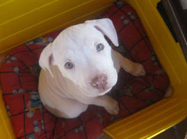 Rednose Pitbull by sour-berry