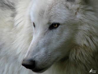 Proud Atilla the Arctic Wolf by Allerlei