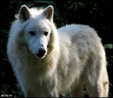 Arctic wolf: Pch... by Allerlei