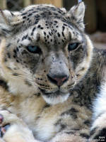 Snow leopard by Allerlei