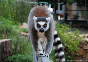 Great lemur is coming by Allerlei
