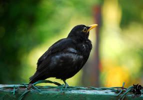 Ignoring black bird by Allerlei
