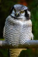 The Northern Hawk-Owl by Allerlei