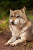 Dreamy wolf by Allerlei