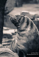 Seal queen by Allerlei