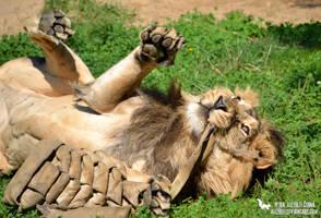 Playful kitt... lion by Allerlei
