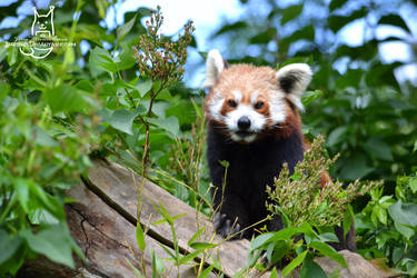 Red panda by Allerlei