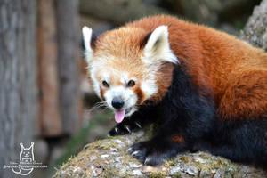 Happy international red panda day! by Allerlei