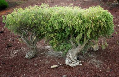 bonsai_1 by TaraKeren