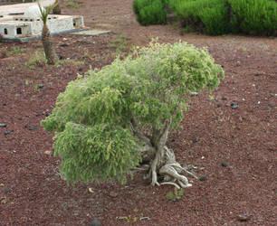 bonsai_2 by TaraKeren