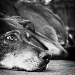 Black Dog by byfrankkk