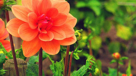 In Bloom II by azin-sooalo