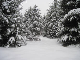 Pine Tree Forest Winter 1 by Salamander-Stock