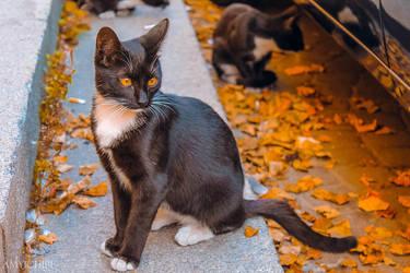 autumn cat by amy-ichibi