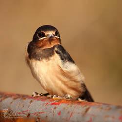 Swallow by LadyCarnal