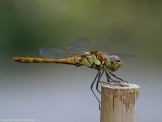 dragonfly by jochniew