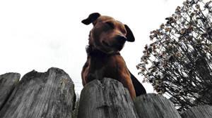 Stella the Huntaway Dog 186 by regnoart