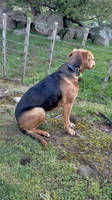 Stella the Huntaway Dog 197 by regnoart