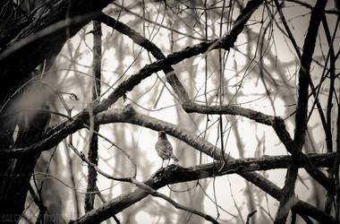 Grey Robin by BaiMilPhotography