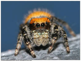 Jumping spider by macrophotography