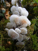 Marasmius candidus by NeddyPatches