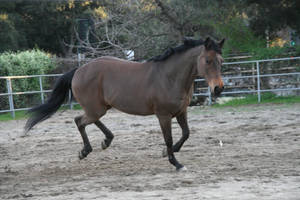 little bay horse stock 1 by Aestivall-Stock
