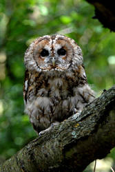 Tawny Owl Perch by Shadow-and-Flame-86