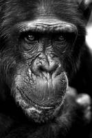 Chimpanzee by Shadow-and-Flame-86