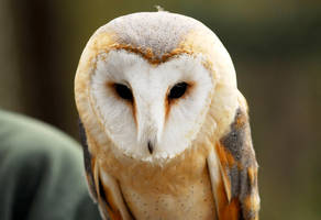 Barn Owl Face by Shadow-and-Flame-86