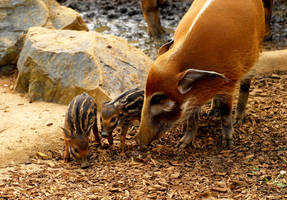 Red River Hog Piglets by Shadow-and-Flame-86