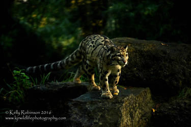 Clouded Leopard by Shadow-and-Flame-86