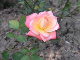 rose2 by neethea
