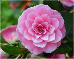 Heavenly Pink by FrankAndCarySTOCK