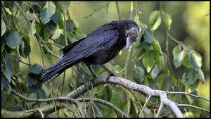 Crow3 by FrankAndCarySTOCK