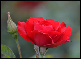 Red Rose by FrankAndCarySTOCK