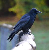 Crow Stock by FrankAndCarySTOCK