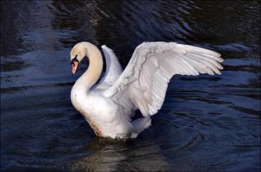 Swan stock by FrankAndCarySTOCK