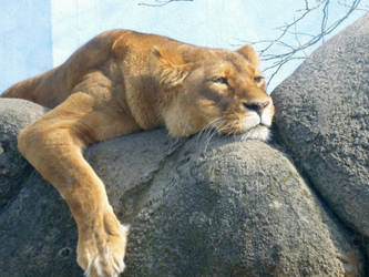 lion around.... by gothicsushi