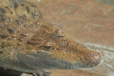 Philippine Crocodile by Daikaiju-fanboy