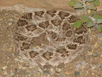 Herping - Western Diamond-Backed Rattlesnake 02 by R-Eventide