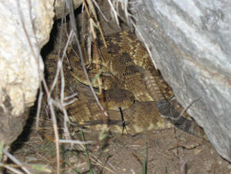 Herping - Black-Tailed Rattlesnake by R-Eventide