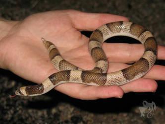 Herping - Saddled Leaf-Nosed Snake by R-Eventide