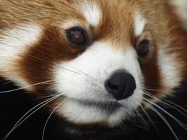 Red Panda Time by KodaSilverwing