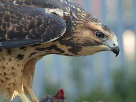 Hawk 2 by KodaSilverwing