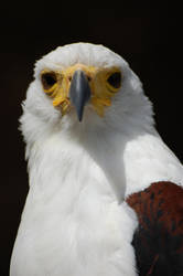 Eagle 2 by soys